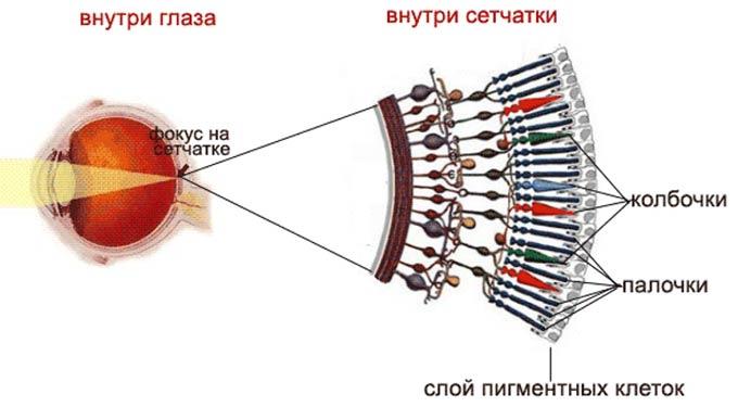палочки и колбочки в глазу