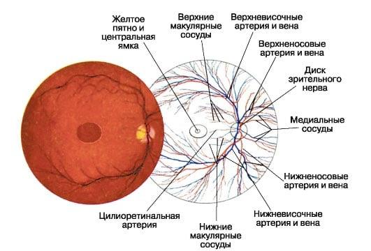 сосуды и нервные окончания глаза