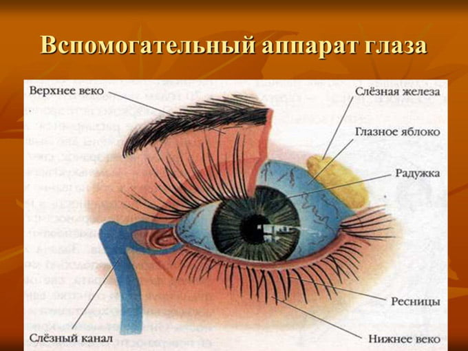 строение оболочки глаза